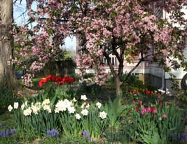 Spring bulbs and crabapple
